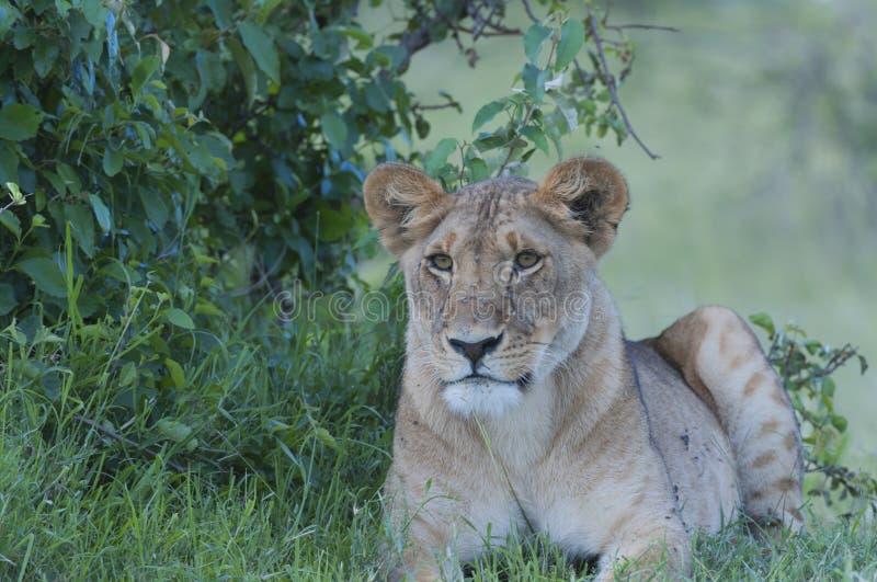 Cachorro de león que se sienta mirando izquierda fotografía de archivo