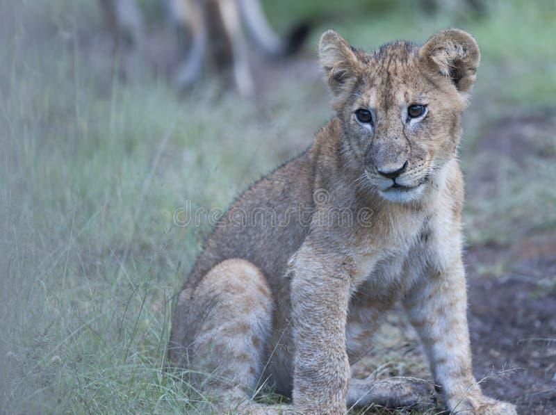 Cachorro de león que se sienta solamente mirando izquierda imágenes de archivo libres de regalías