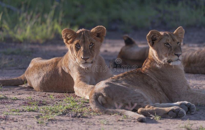 Cachorro de león, sentándose en sol de la tarde imágenes de archivo libres de regalías