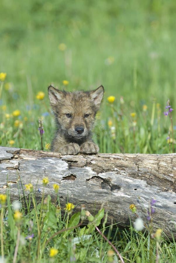 Cachorro de lobo foto de archivo libre de regalías