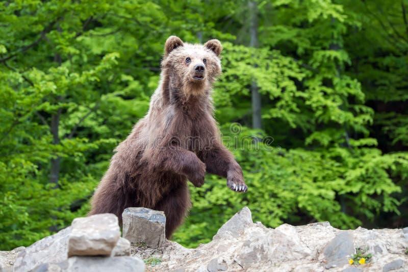 Cachorro de oso de Brown en un bosque de la primavera imagen de archivo