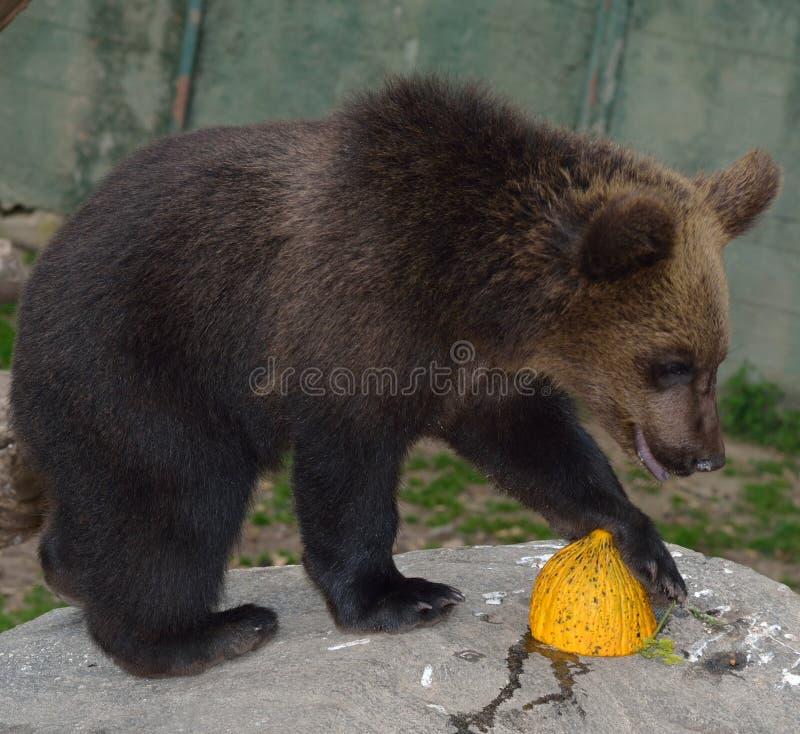 Cachorro de oso de Brown foto de archivo