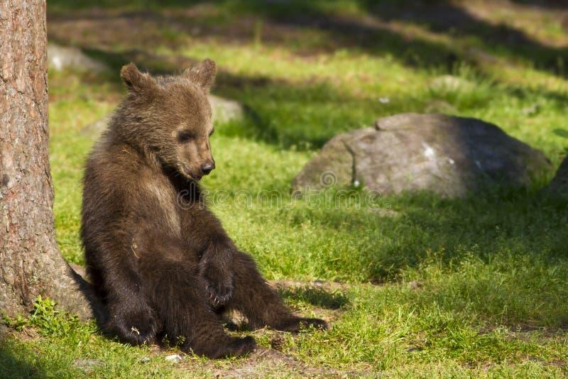 Cachorro de oso de Brown (arctos) del Ursus i de reclinación fotografía de archivo