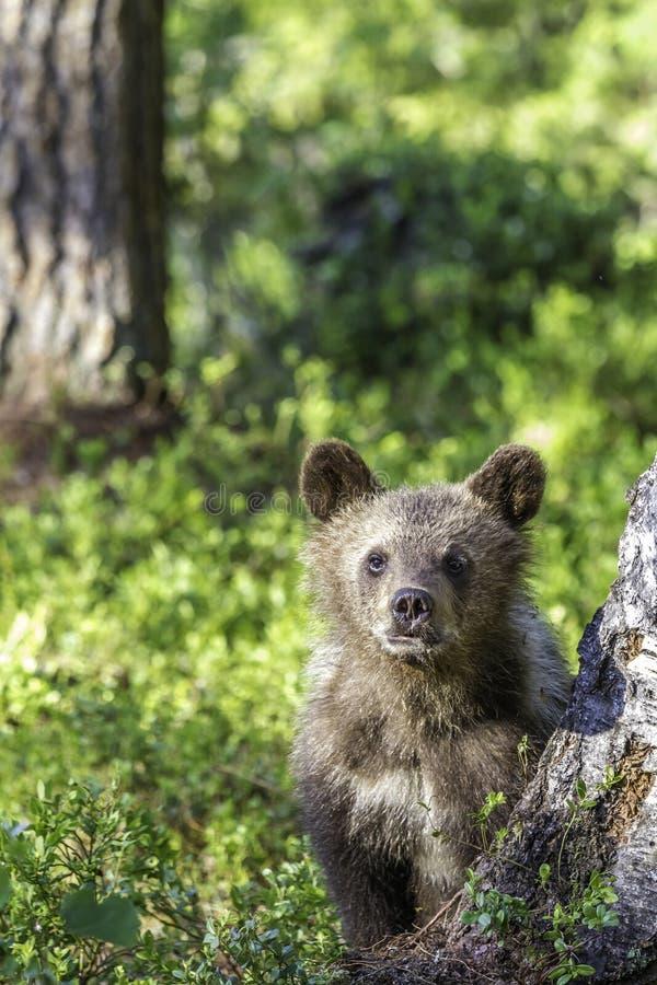 Cachorro de oso de Brown (arctos del Ursus) vigilante en el bosque foto de archivo libre de regalías