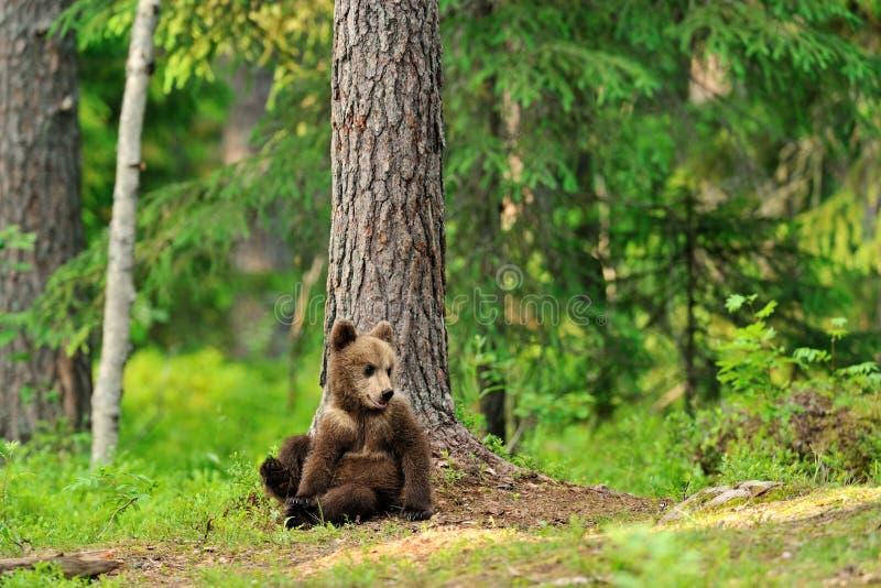 Cachorro de oso de Brown en bosque fotos de archivo