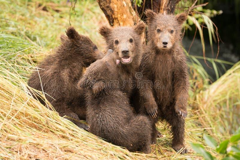 Cachorro de oso de Brown que se coloca al lado de tres hermanos fotos de archivo