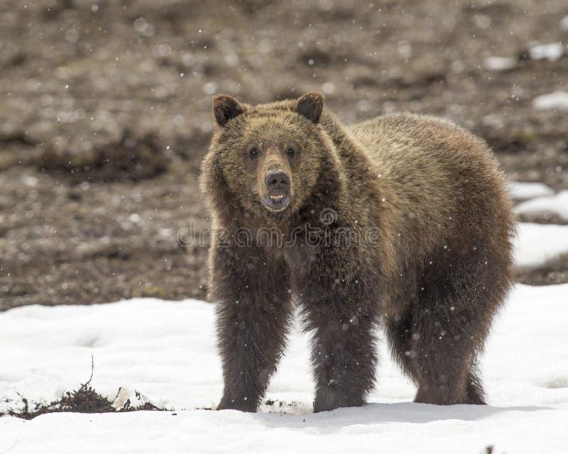 Cachorro de oso grizzly en nieve en primavera temprana foto de archivo libre de regalías