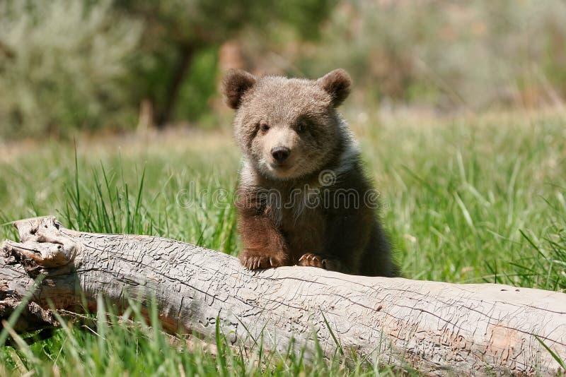 Cachorro de oso grizzly que se sienta en el registro fotografía de archivo