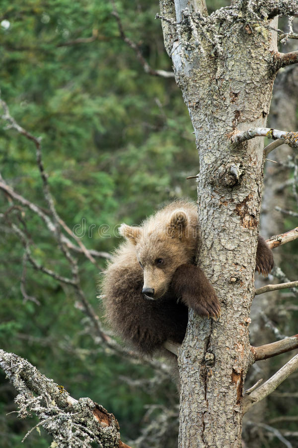 Cachorro de oso marrón de Alaska lindo fotografía de archivo libre de regalías