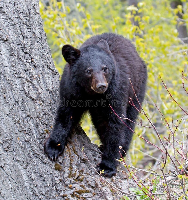 Cachorro de oso negro americano imágenes de archivo libres de regalías