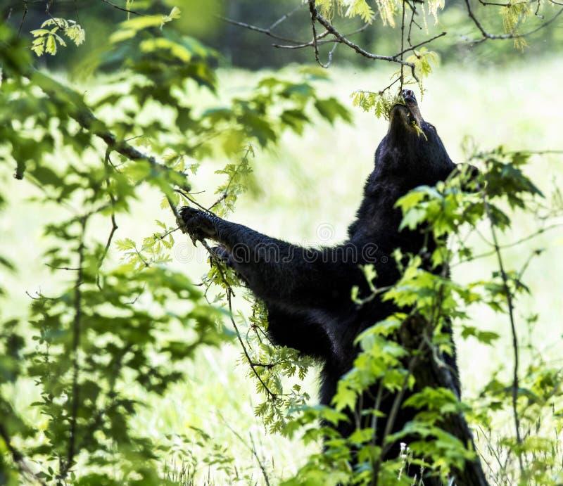 Cachorro de oso negro que alimenta en las hojas foto de archivo
