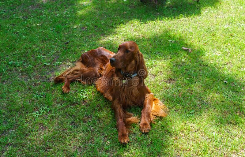 Cachorro de raça satsuga, cor castanha no gramado fotografia de stock