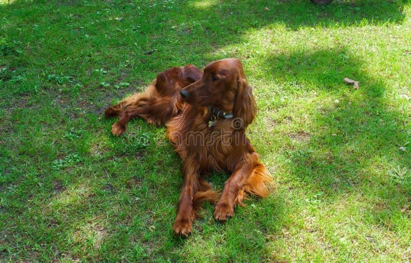 Cachorro de raça satsuga, cor castanha no gramado imagens de stock royalty free