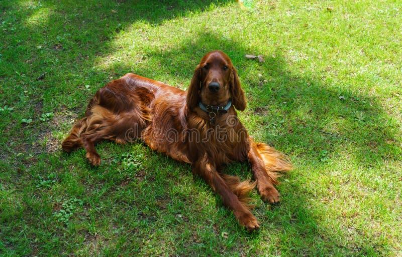 Cachorro de raça satsuga, cor castanha no gramado fotos de stock royalty free
