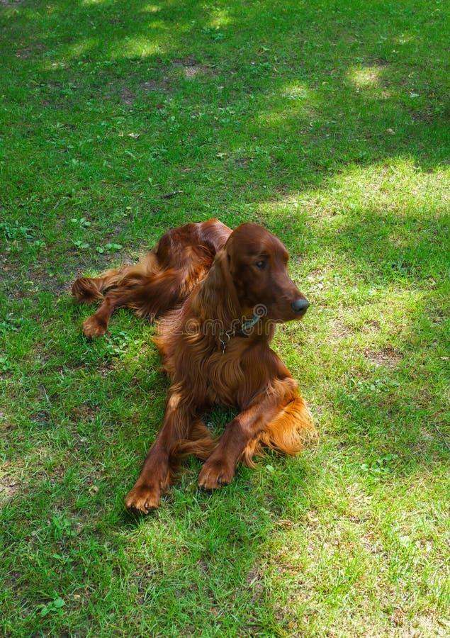 Cachorro de raça satsuga, cor castanha no gramado imagens de stock