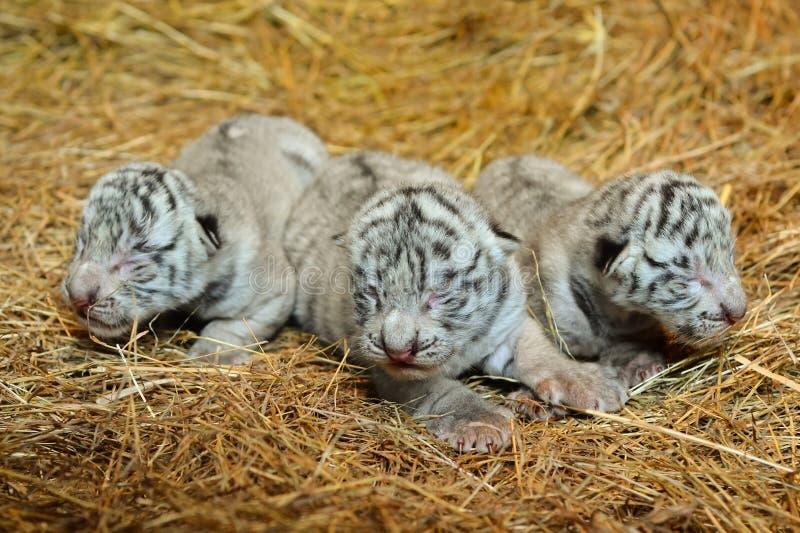 Cachorro de tigre blanco de Bengala imagenes de archivo
