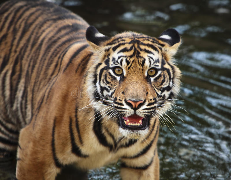 Cachorro de tigre de Sumatran foto de archivo
