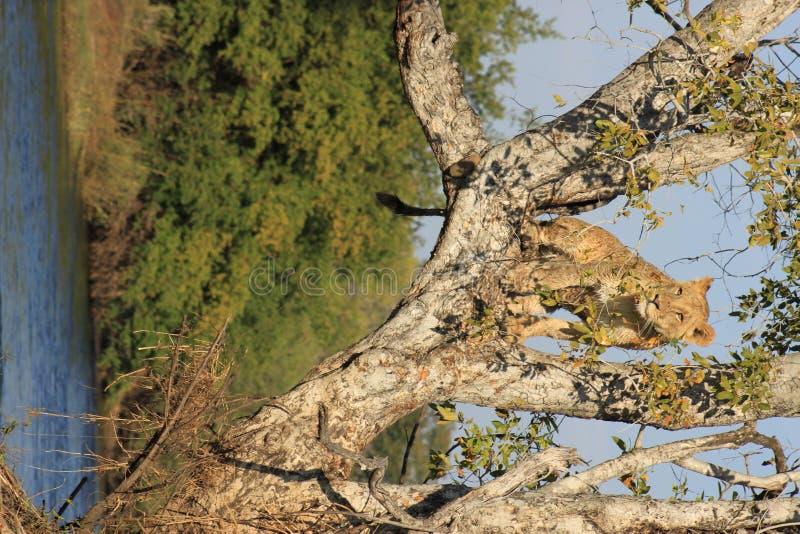 Cachorro de tigre en árbol foto de archivo