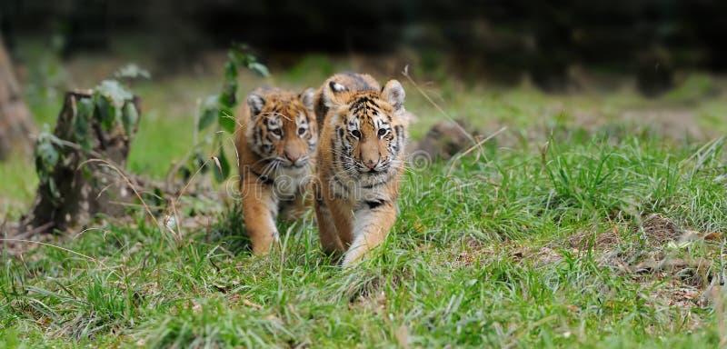 Cachorro de tigre en hierba foto de archivo