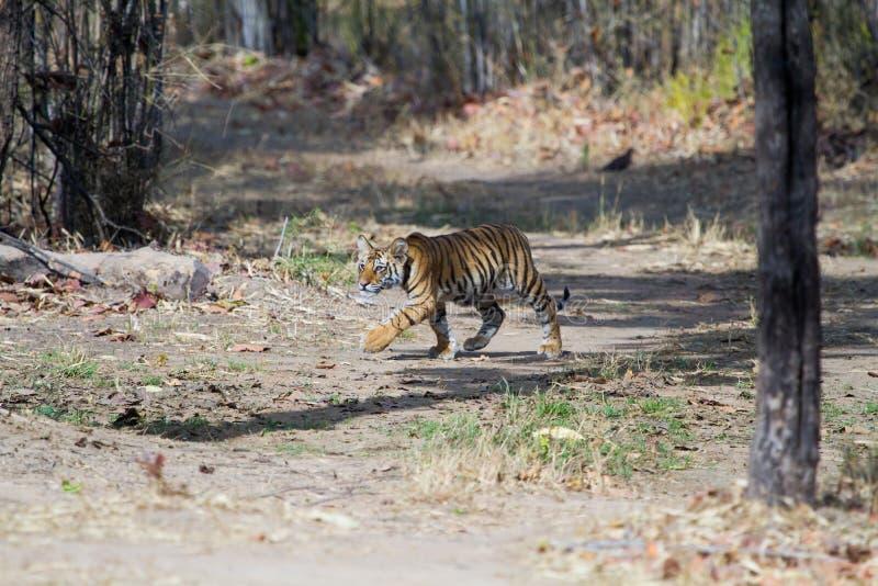 Cachorro de tigre en la selva fotos de archivo