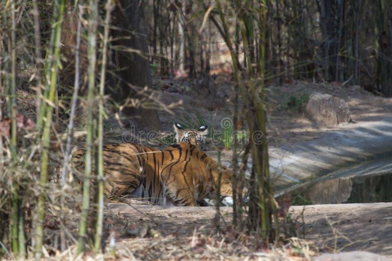 Cachorro de tigre en la selva fotografía de archivo libre de regalías