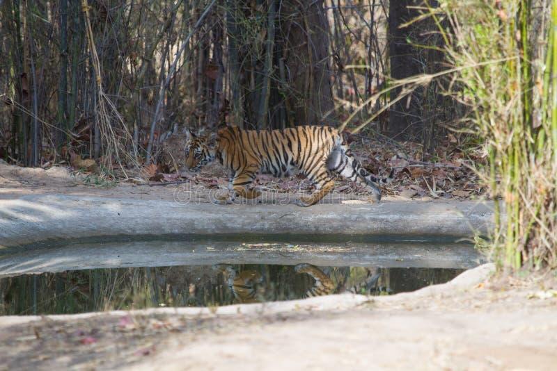 Cachorro de tigre en la selva foto de archivo