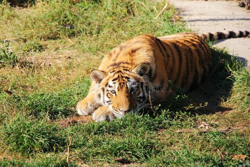 Cachorro de tigre que miente en la hierba imagenes de archivo