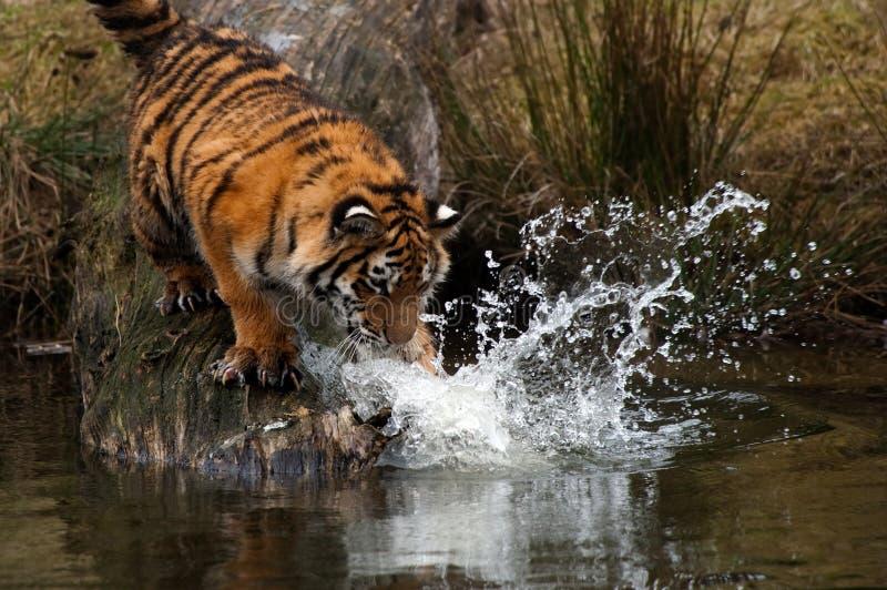 Cachorro de tigre siberiano imagen de archivo libre de regalías
