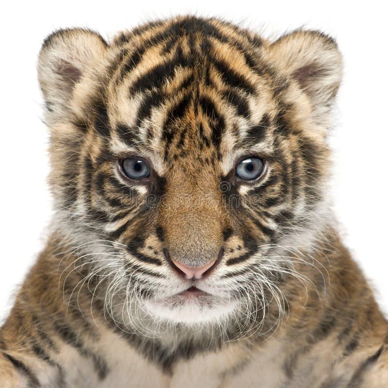 Cachorro de tigre de Sumatran, sumatrae del Tigris del Panthera, 3 semanas de viejo, en el franco fotografía de archivo