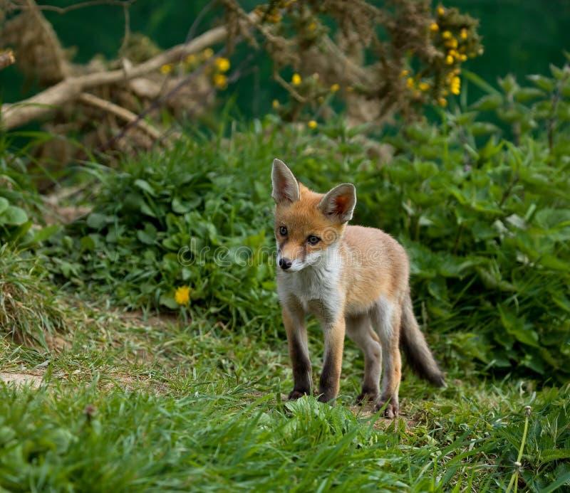 Cachorro del Fox rojo foto de archivo