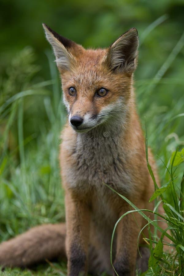 Cachorro del Fox rojo fotos de archivo