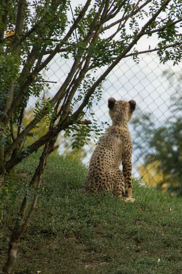 Cachorro del guepardo del bebé fotografía de archivo libre de regalías