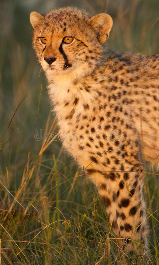 Cachorro del guepardo con sangre imagen de archivo