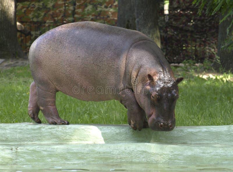 Cachorro del hipopótamo fotos de archivo libres de regalías