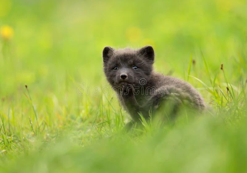 Cachorro del lagopus del Vulpes del zorro ártico en el prado fotografía de archivo