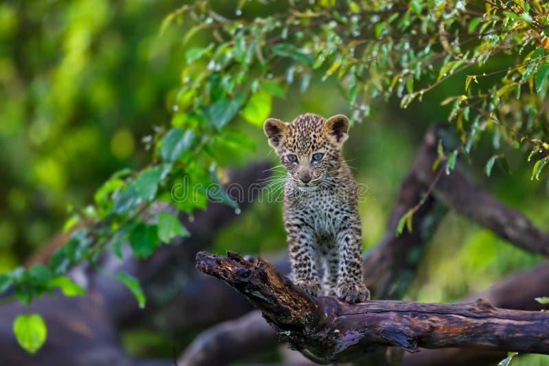 Cachorro del leopardo en Masai Mara, Kenia imagen de archivo