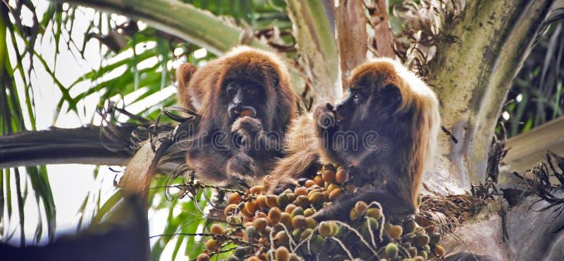 Cachorro del mono del grito de Brown que come la fruta de la palma imágenes de archivo libres de regalías