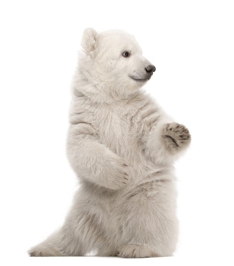 Cachorro del oso polar, maritimus del Ursus, 3 meses imágenes de archivo libres de regalías