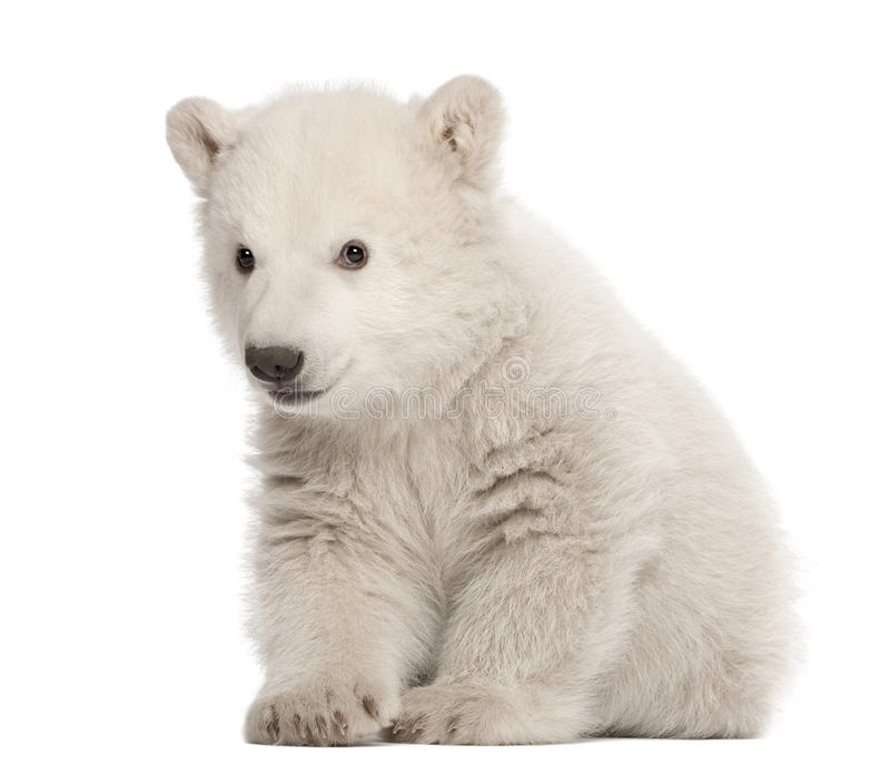 Cachorro del oso polar, maritimus del Ursus, 3 meses foto de archivo