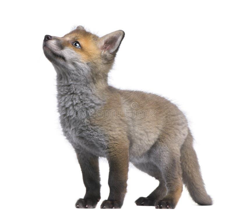 Cachorro del zorro rojo que mira para arriba (6 semanas de viejo) - el vulpe del Vulpes foto de archivo