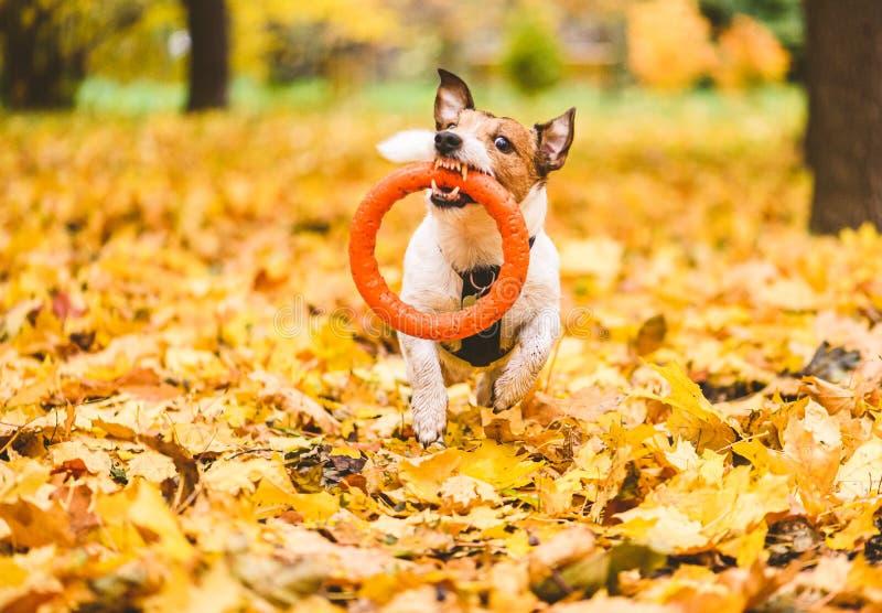 Cachorro engraçado brincando com anel de puller nas folhas do mapa no outono imagens de stock royalty free