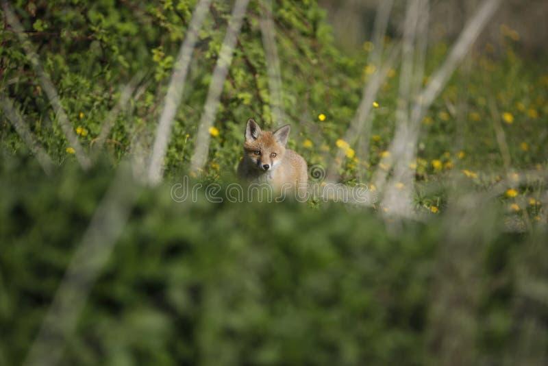 Cachorro europeo del Fox rojo que explora el mundo imagen de archivo