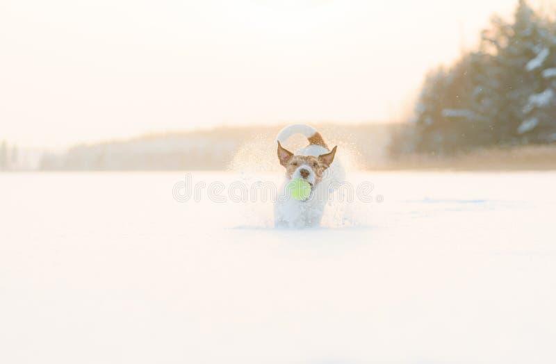 Cachorro feliz e brincalhão jogando com bola de tênis no lago gelo pulando em neve foto de stock