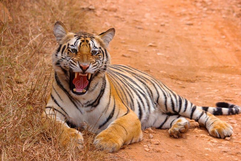 Cachorro femenino de Chandi del tigre, Panthera el Tigris, santuario de Umred-Karhandla, maharashtra imagenes de archivo