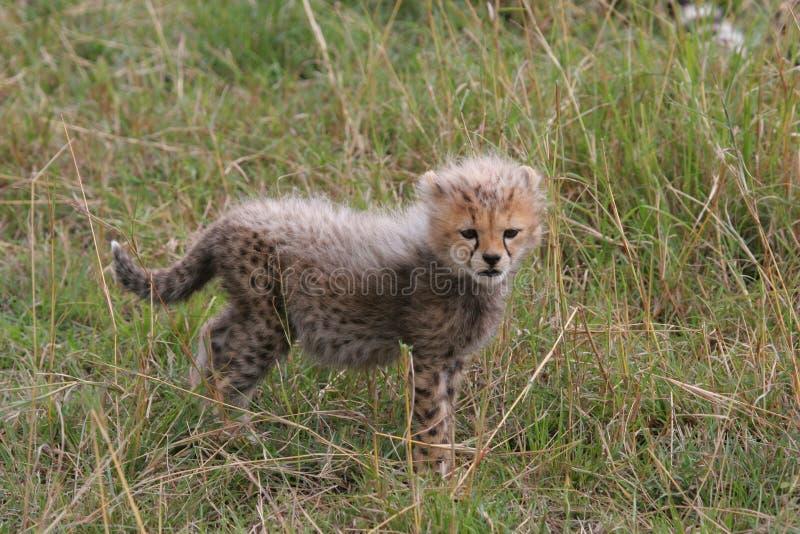 Cachorro lindo del guepardo imagen de archivo libre de regalías