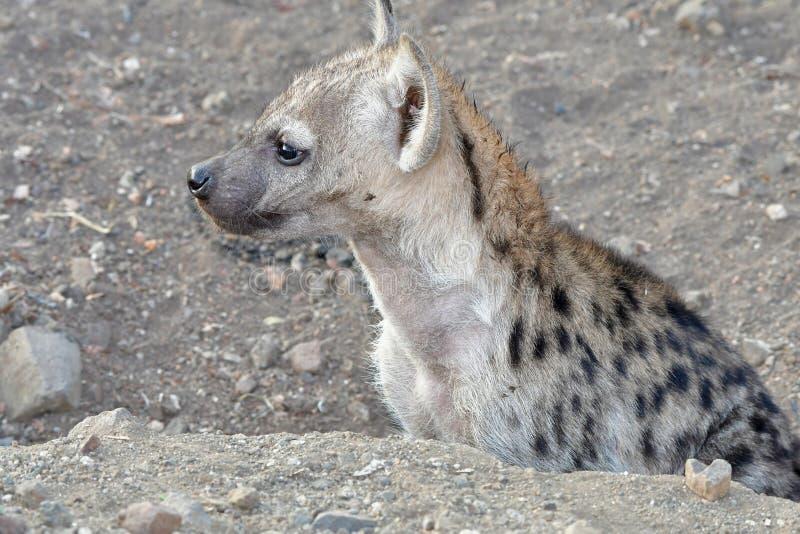 cachorro lindo del hyaena manchado imagen de archivo libre de regalías
