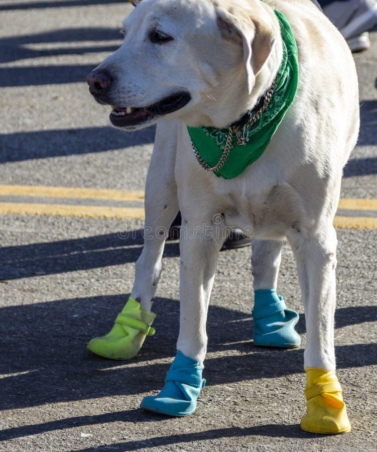 Cachorro louro Labrador usando botas foto de stock royalty free