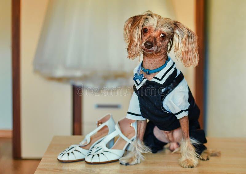 Cachorro macho cristo chinês, vestido com um vestido de noiva do noivo, guardando e sentando ao lado dos sapatos de sua amante imagem de stock