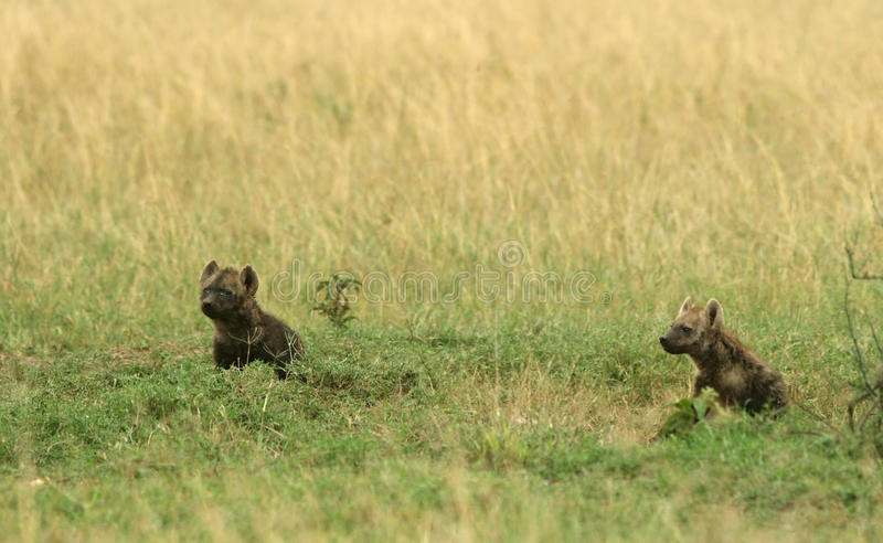 Cachorro manchado del hyena foto de archivo libre de regalías
