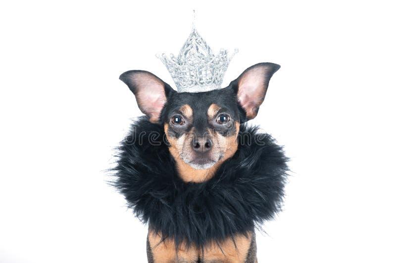 Cachorro na coroa e uma boa, um rei, o príncipe, Isolado sobre um retrato branco de um cão estiloso imagens de stock royalty free